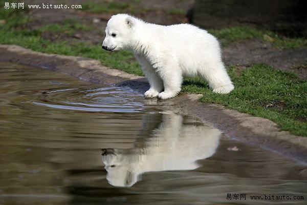 令人忍俊不禁的动物们 超可爱的小北极熊