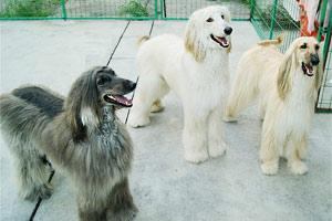 家有三宝 阿富汗猎犬绝对的帝王宝贝
